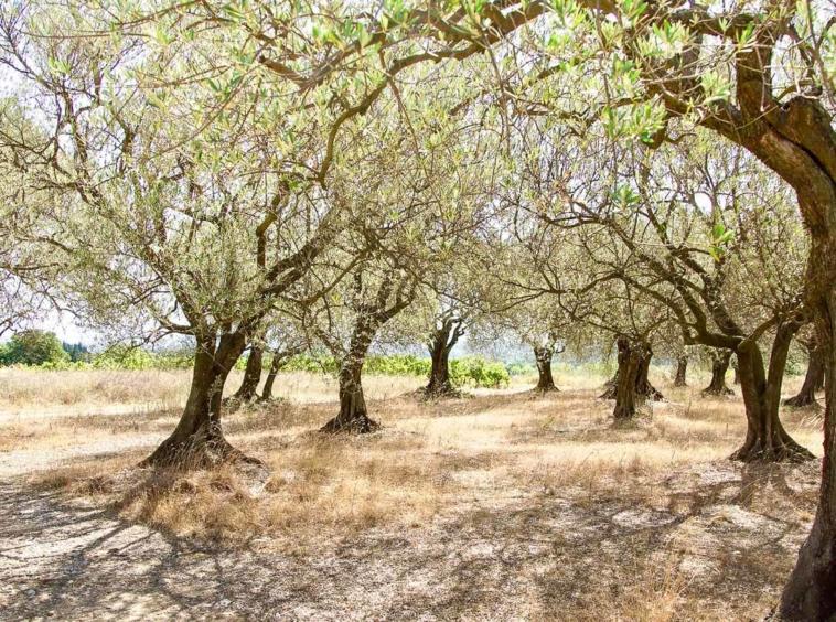 A Prime Located Plot Near Platanias (Pirgos Psilonerou) Olive Grove Views